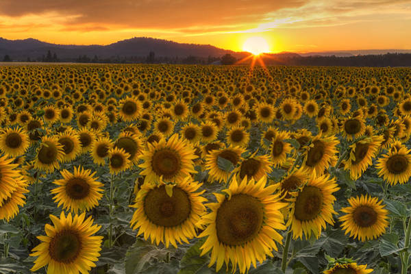 Sunflower Field Photograph - Sunshine And Happiness by Mark Kiver