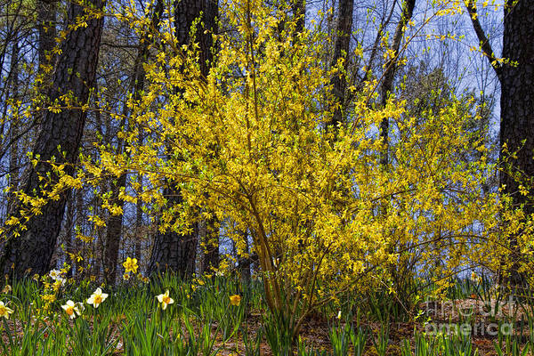 Photograph - Sunshine Bush by Barbara Bowen