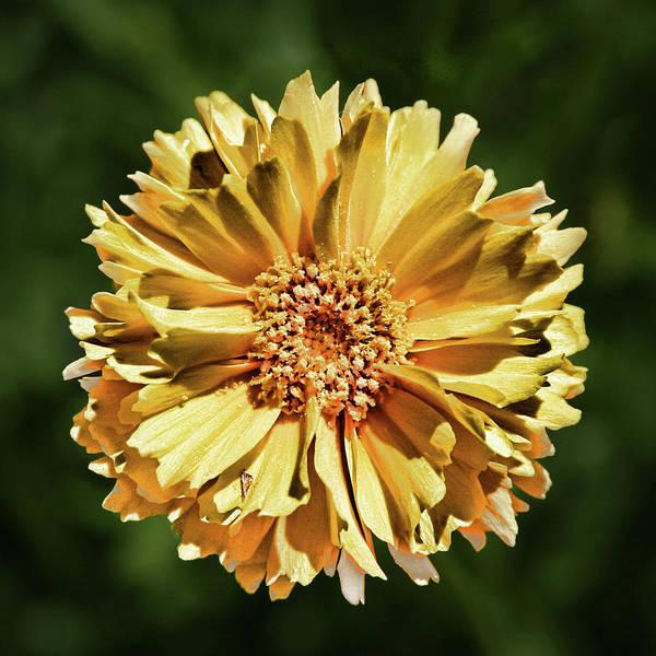 Photograph - Sunshine Flower by Marie Leslie