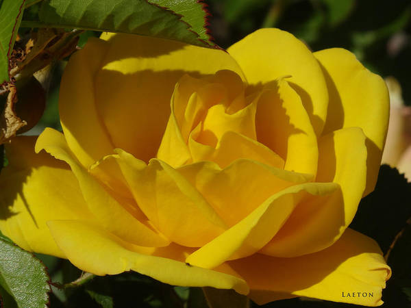 Mixed Media - Sunshine Rose by Richard Laeton