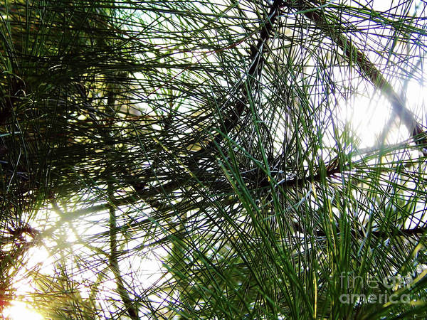 Hackett Photograph - Sunshine Through Pine Needles by D Hackett