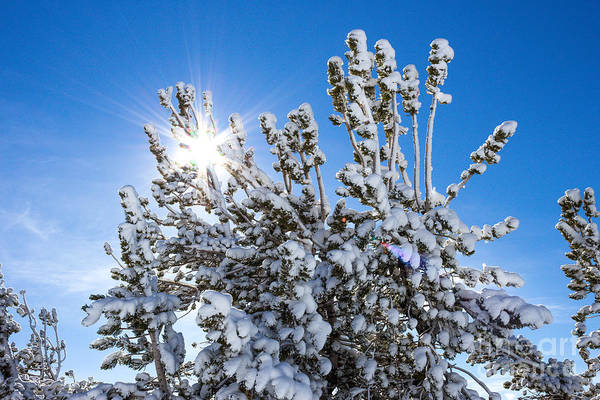 Photograph - Sunshine Through Snow Covered Tree by G Matthew Laughton