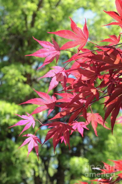 Photograph - Sunshine Through Spring Maple Leaves by Carol Groenen