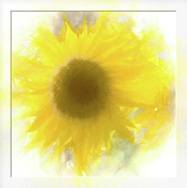 Photograph - Super Soft Sunflower by Natalie Rotman Cote