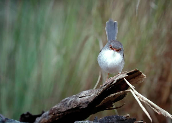 Photograph - Superb Fairy Wren by Nicholas Blackwell