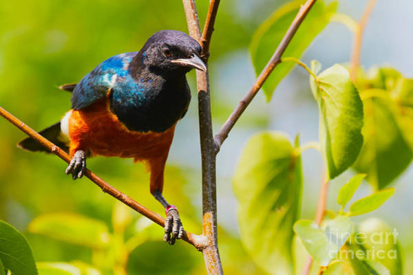 Photograph - Superb Starling by Nick  Biemans