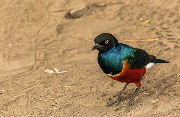 Photograph - Superb Starling by Tim Bryan