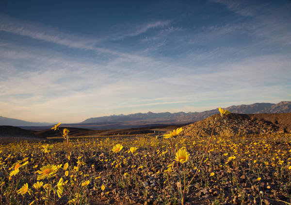 Death Valley Np Photograph - Superbloom Of Yellow Gold by Kunal Mehra