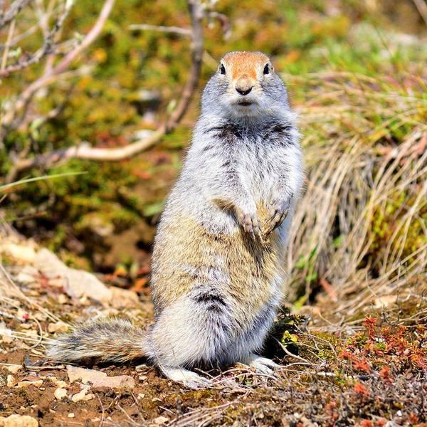 Photograph - Supercool Arctic Ground Squirrel - Denali by KJ Swan