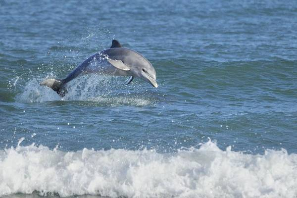 Photograph - Surf Dolphin by Bradford Martin