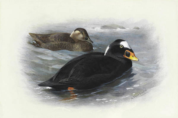 Mixed Media - Surf Scoter By Thorburn by Archibald Thorburn
