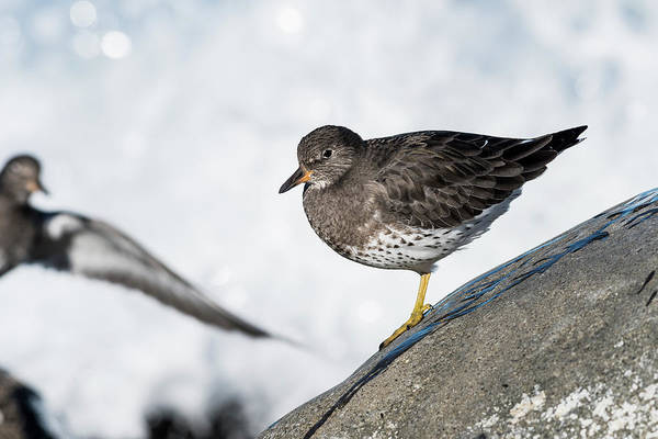 Photograph - Surfbirds On The Rocks by Robert Potts
