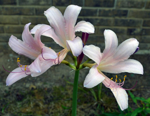Surprise Lily Photograph - Surprise Lilies by James Pinkerton