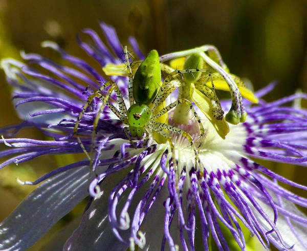 Photograph - Surprise Passion Green Lynx Spider by Reid Callaway