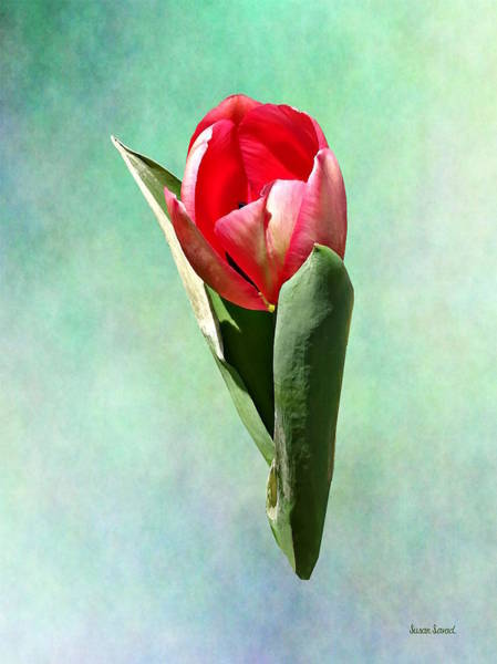 Photograph - Surprised Tulip by Susan Savad