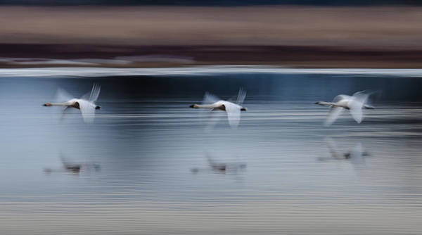 Photograph - Surreal Swans by Wes and Dotty Weber