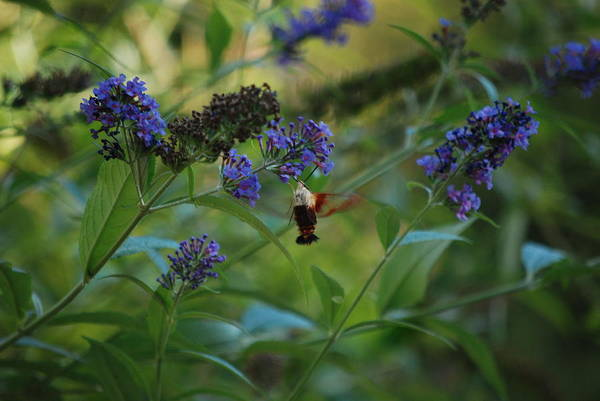 Photograph - Surrounded By Butterfly Bushes by Lori Tambakis