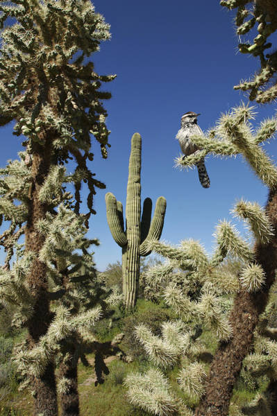 Photograph - Surrounded Saguaro Cactus Wren by Jill Reger