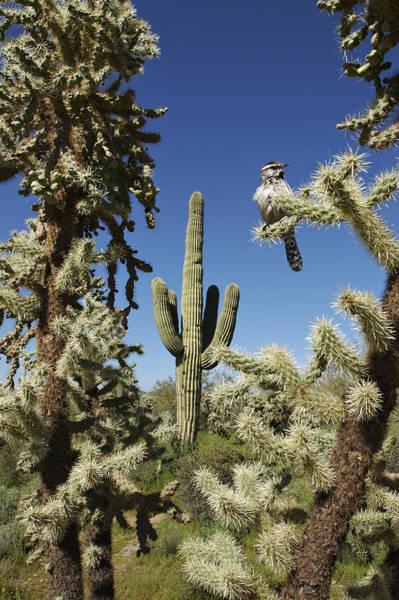 Photograph - Surrounded Saguaro Cactus Wren by Jill Reger