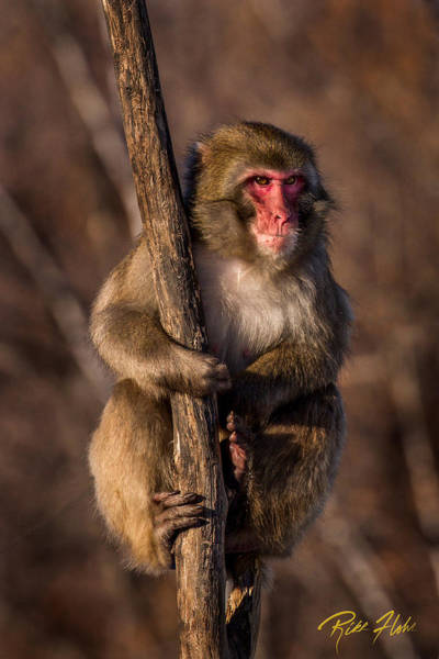 Photograph - Surveying Monkey by Rikk Flohr
