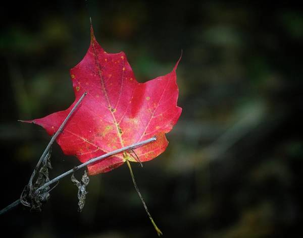 Photograph - Suspended Maple Leaf by Garvin Hunter