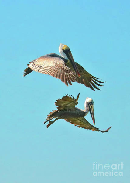 Wall Art - Photograph - Suspended Pelicans by Carol Groenen