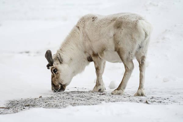 Photograph - Svalbard Reindeer by James Billings