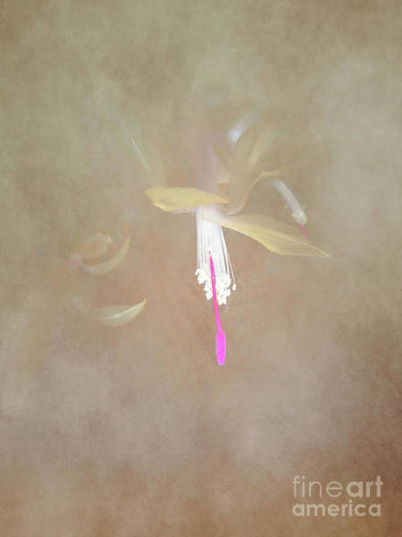 Photograph - Swaddled Blossom by Judy Hall-Folde