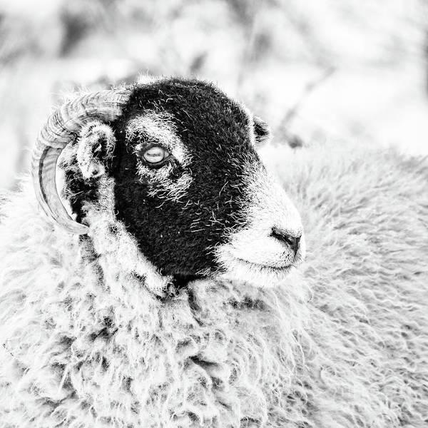 Ewe Photograph - Swaledale Ewe #2 by Janet Burdon