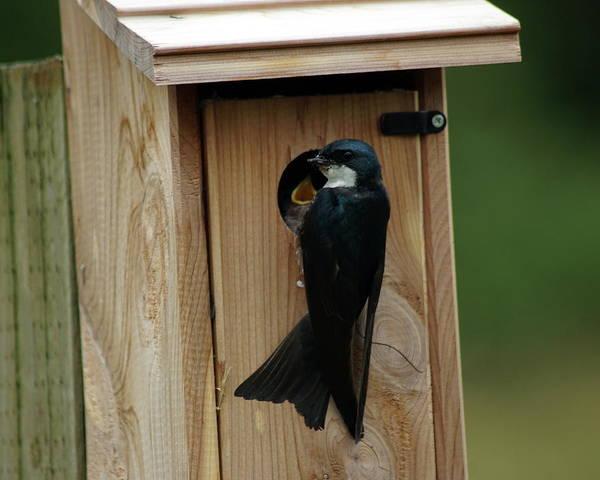 Photograph - Swallow Feeding Young by Ben Upham III