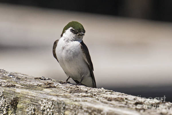 Violet-green Swallow Photograph - Swallow by Inge Riis McDonald