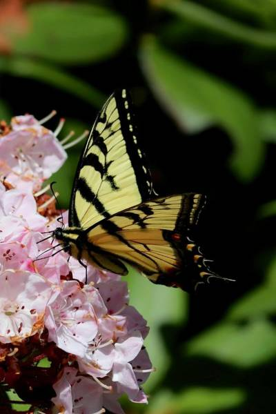 Photograph - Swallow Tail On Mountain Laurel by Sarah Lilja