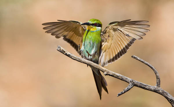 Wall Art - Photograph - Swallow-tailed Bee-eater by Basie Van Zyl