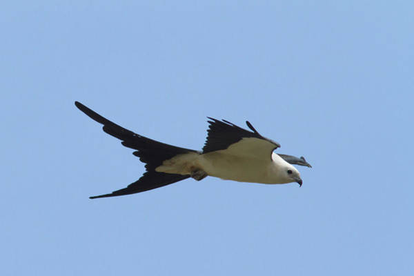 Photograph - Swallow-tailed Kite #2 by Paul Rebmann