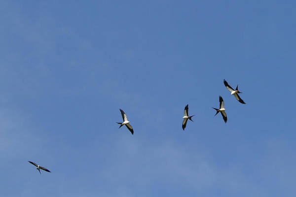 Photograph - Swallow-tailed Kites Soaring by Paul Rebmann