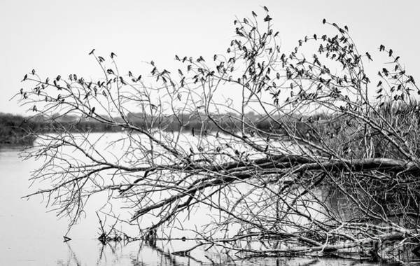 Photograph - Swallows At Horicon Marsh  by Ricky L Jones