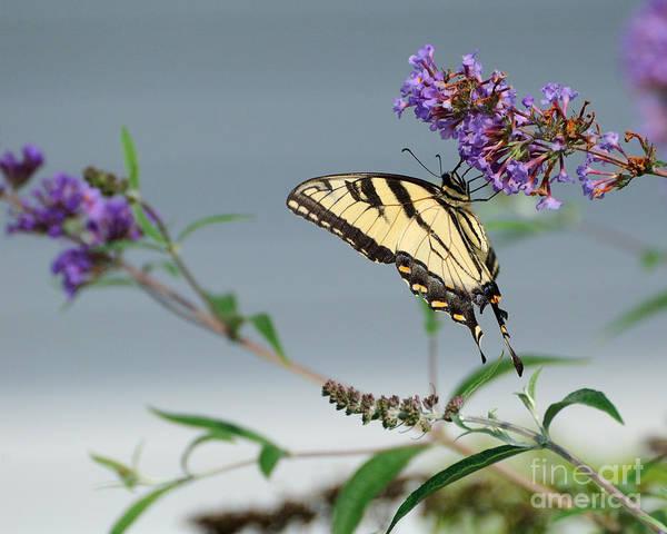 Wall Art - Photograph - Swallowtail 1 by Edward Sobuta