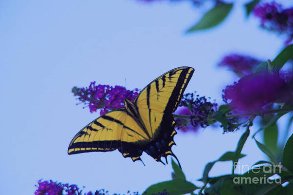Wall Art - Photograph -  Swallowtail And Flowers by Jeff Swan