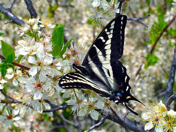 Wall Art - Photograph - Swallowtail And Plum Blossoms by Karon Melillo DeVega