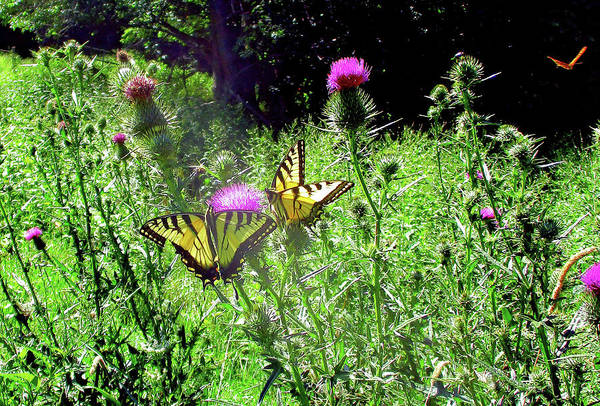 Photograph - Swallowtail Butterflies And Company by Patricia Keller