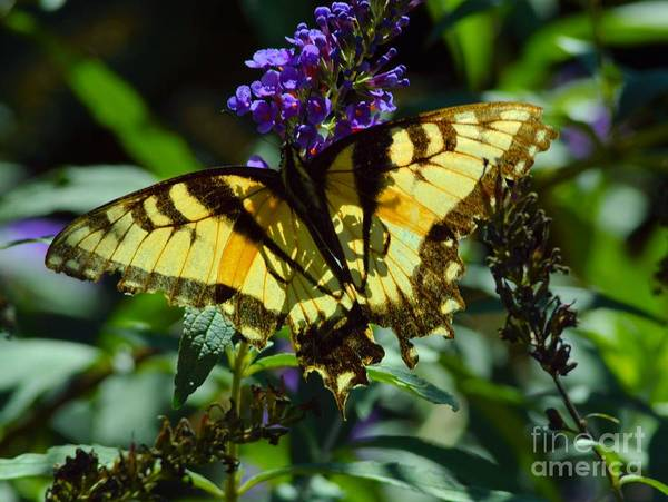 Photograph - Swallowtail Butterfly #2 by Robyn King
