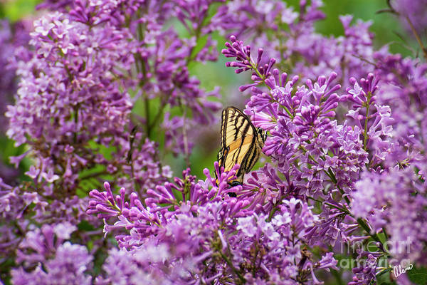 Photograph - Swallowtail Butterfly And Lilacs by Alana Ranney