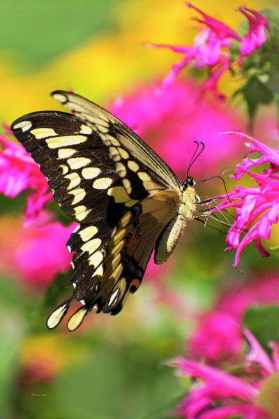 Wall Art - Photograph - Swallowtail Butterfly Garden by Christina Rollo