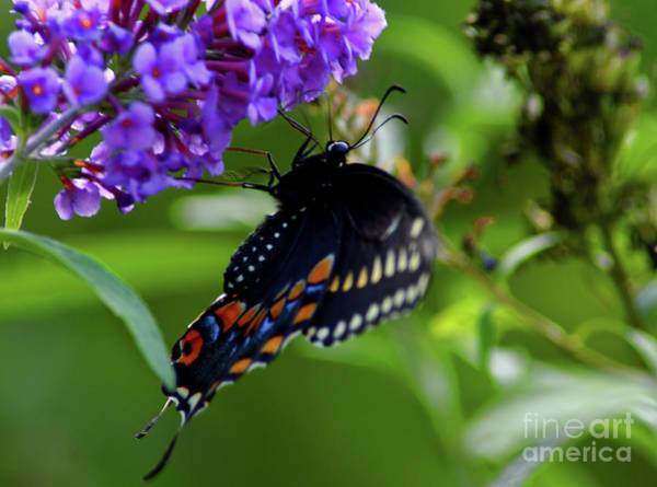 Photograph - Swallowtail Butterfly Getting A Little Beauty Rest  by Robyn King