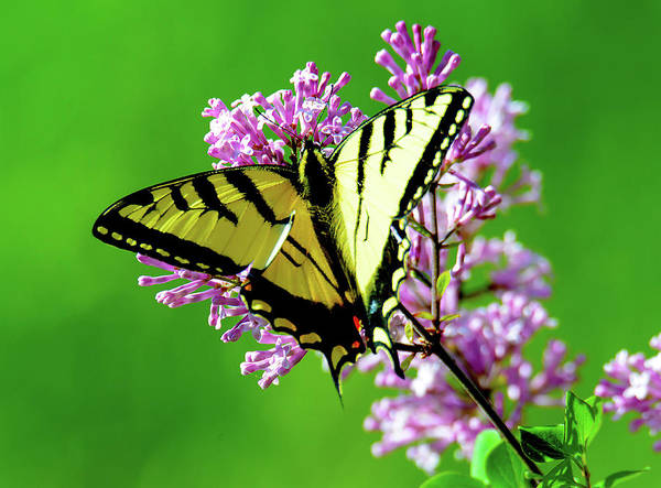 Wall Art - Photograph - Swallowtail Butterfly by Happy Home Artistry