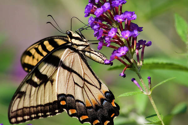 Photograph - Swallowtail Butterfly by Jill Lang