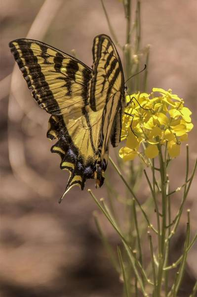 Photograph - Swallowtail Butterfly by NaturesPix