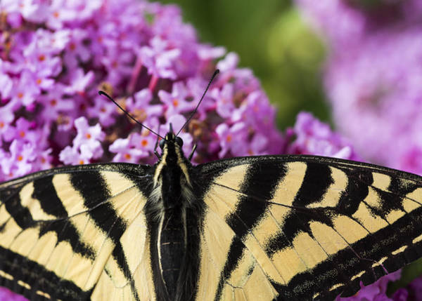 Photograph - Swallowtail Butterfly On Butterfly Bush by Robert Potts