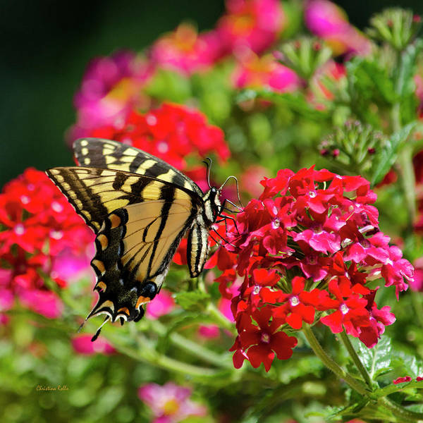 Wall Art - Photograph - Swallowtail Butterfly On Flower by Christina Rollo