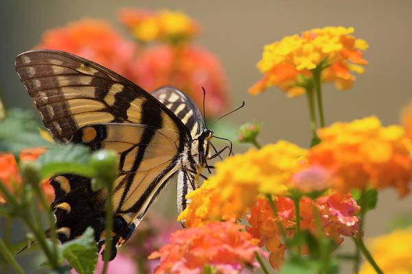 Photograph - Swallowtail Butterfly On Lantana by Jill Lang